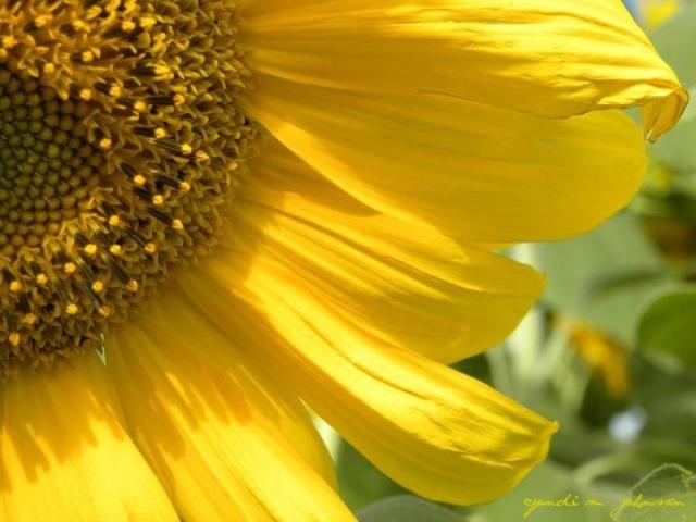 6.6.17 corner sunflower photo